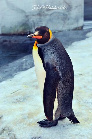 旭川动物园企鹅散步时间