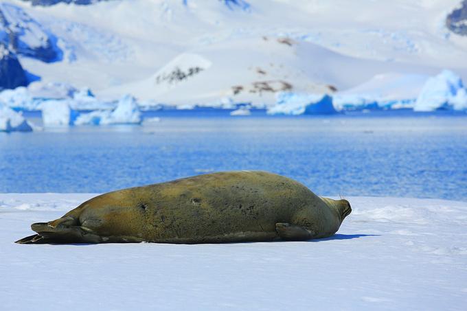 虎鲸 Orka,又叫Killer whale,是海豚的一种,全球虎鲸分为4种,南极有其中的3种,虎鲸总数大概有10万只,其中3万只在南极。晚上9时,突然听到团友电话,说是船周围发现虎鲸群,大家冲上甲板张望,惊讶地发现船周围不断跃出6-10米的庞然大物,似乎是一个族群。据船上生物专家预估,这群虎鲸数量大约有40只,船长不断调整行船方向以跟随这些强悍生物,让团友拍了大量高清图片。这些虎头虎脑的生物以海豹为食,是南极海洋的霸主,雄性虎鲸的背鳍又高又直,雌性背鳍弯曲低矮,每个种群中只有两只雄性,其他都是雌性。虎鲸