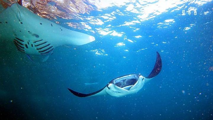 蓝梦岛的珊瑚不错,但水生动物种类相对较少,主要看点是manta和molamol