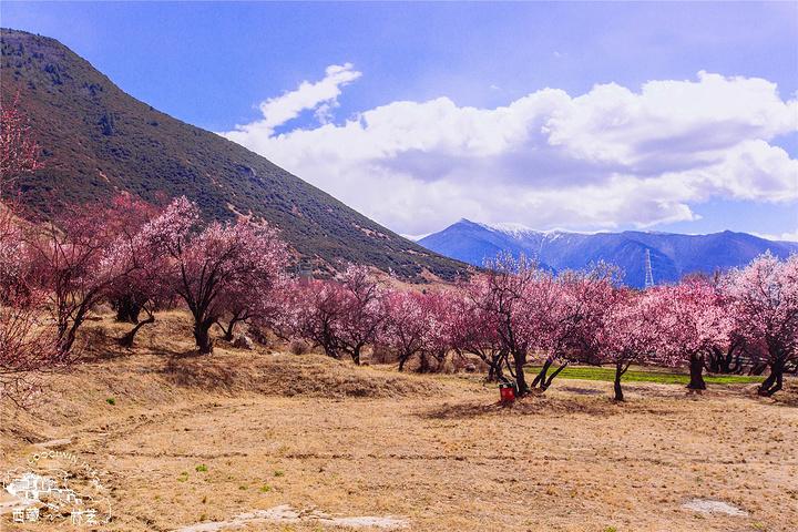 美丽的桃花让我想起了蒋大为《在那桃花盛开的地方》,在那桃花盛开的地方,有我可爱的故乡 桃树倒映在宁静的水面,桃李环抱着秀丽的村庄。桃园荡漾着孩子们的笑声,桃花映红了姑娘的脸庞。桃林环抱的村庄,少有歌中所描绘的那种文人心中几乎已成模式的景色,在西藏你看到的桃花是与江南不同的模样,就像同一棵树,把它放在平原的城市看和放在西藏看是完全不一样,只因为西藏能够更加让你震撼心灵。