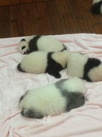 熊猫宝宝们,好可爱啊,每只都胖嘟嘟的,睡觉的时候偶尔手脚还会动来动