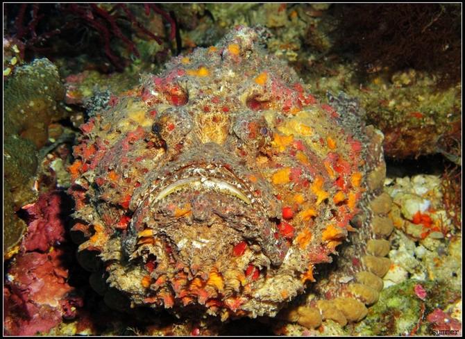 暗礁石头鱼reefstonefish