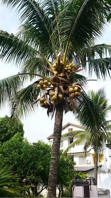 第一次在城市看到椰子树,在我的记忆力,椰子树应该都在海滩上啊.