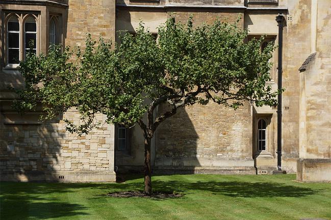 三一学院墙外有棵苹果树