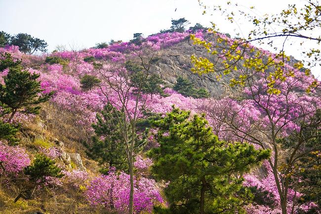 青岛大珠山:四月杜鹃花正艳