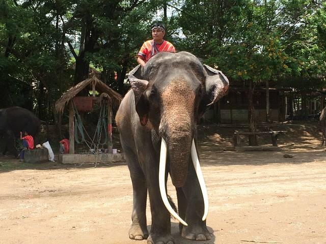 湄登大象营(Maetaeng Elephant Camp)位于清迈古城北部,远离市区,散客很难找过来,基本上都是团客,尤以中国旅行团居多,既有国内组团出发的泰国五日游/七日游(等等)旅行团,也有到了清迈再报名参加一日游的自由行旅客。我是在所住的 D-Well Hostel 预定的湄登大象营骑大象+大象表演+坐竹筏+坐牛车+兰花园一日游,前台小哥小妹人都很有亲和力,对清迈的小吃、夜市、寺庙、周边游都很熟悉而且有他们自己的偏好,打电话给旅行社咨询清迈大象营一日游的报价时那温暖的声音简直要把我的心融化了。最后