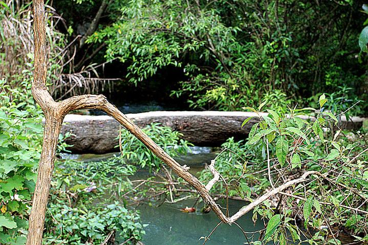 水上森林中,石上盘根错节,枝间古藤缠绕.图片