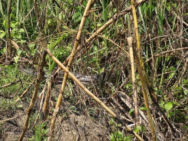 河对面丛林里的大蟒蛇,还在游走.