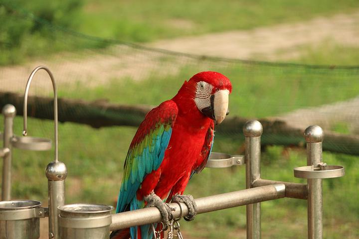 壁纸 动物 鸟 鹦鹉 720_480