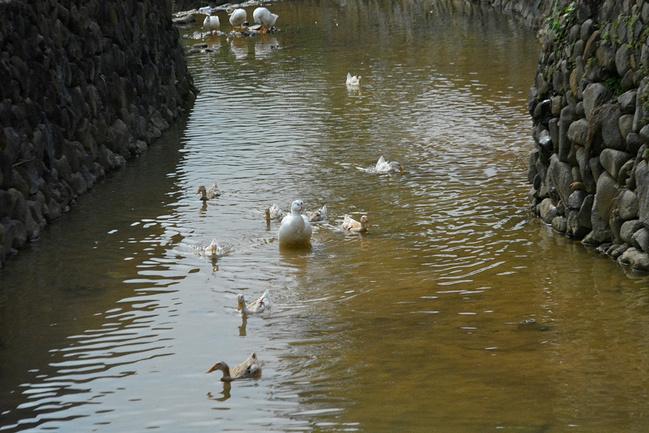 门前大树下,游过一群鸭