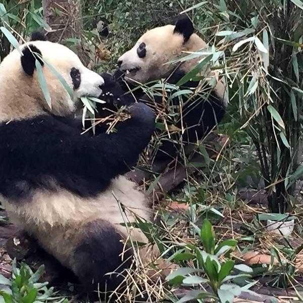 熊猫为什么这么惹人喜爱呢
