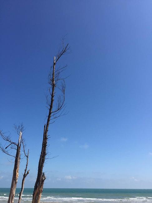 枯树,海边.