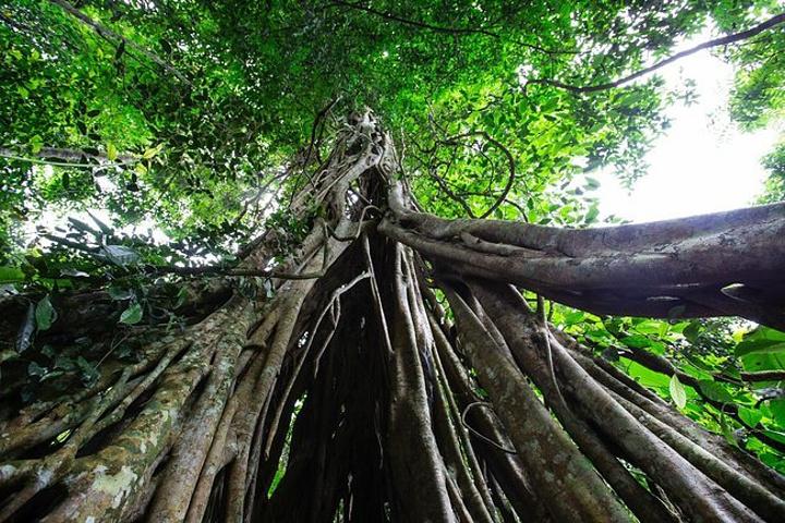 绞杀现象是这片我国最大的原始森林中的一道奇特的景观,在西双版纳热带雨林中比比皆是。绞杀植物大多是榕树,这些绞杀植物的种子多通过鸟类的粪便或者被风刮到棕榈树、铁杉树等易于榕树生长的树干上,等到发芽后,其根就植入被绞杀植物的底部。绞杀植物缠绕棕榈树、铁杉树等茎干上,与被绞杀植物争夺养料和水分,绞杀者慢慢成长为既附生又自主的热带植物。若干年后,绞杀植物的根牢牢隔断了棕榈树、铁杉树的水份供给,被绞杀植物就会因营养不足而逐渐死去。会不会觉得很神奇?