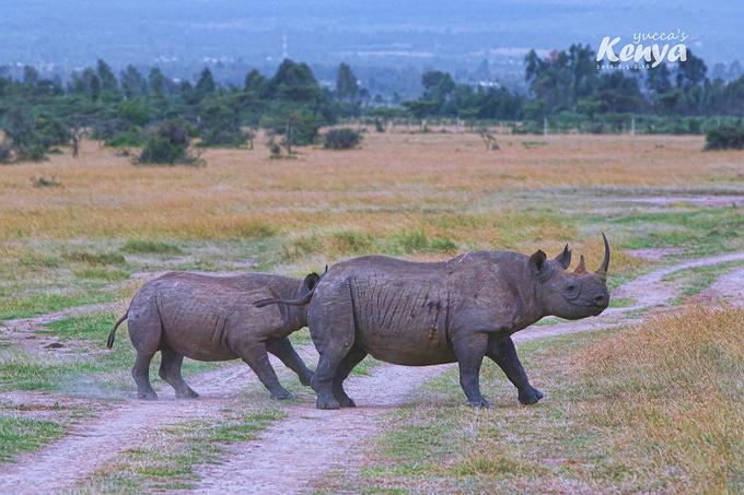 我比小伙伴们提前到,要自己在内罗毕待一天。 内罗毕的推荐景点有:马赛村(没兴趣)、长颈鹿公园(有兴趣)、内罗毕国家公园(全程都安排了类似的景点,这里没必要)、肯尼亚国家博物馆(兴趣不大),动物孤儿院(兴趣不大),最终决定利用这一天休养生息,只去长颈鹿公园,顺便去Carnivore餐厅拔个草,然后到超市把重要的东西先采购好,因为safari回来的次日我就回北京,不一定再有烧瓶的时间了。 内罗毕的治安状况很不怎么样,百度一下你就知道,所以即便这天行程简单,还是跟旅行社要了车,70USD(半天)+10USD(小