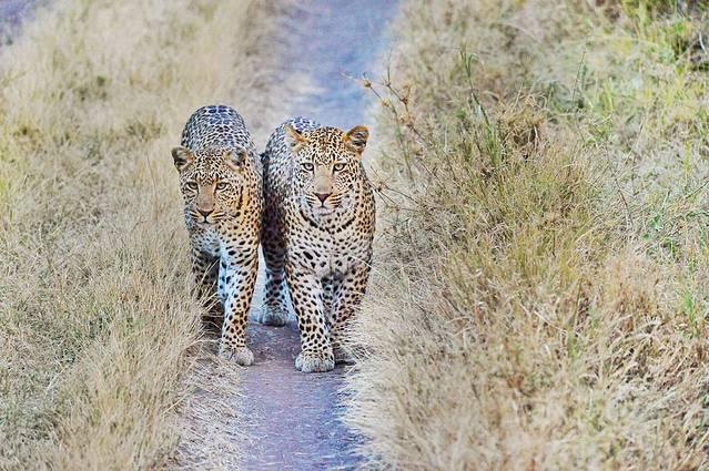 狮子是唯一一种群居生活的猫科动物,在狮子的世界里,雄狮尽管身强体