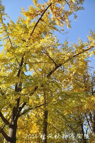 壁纸 银杏 银杏树 银杏叶 319_480 竖版 竖屏 手机