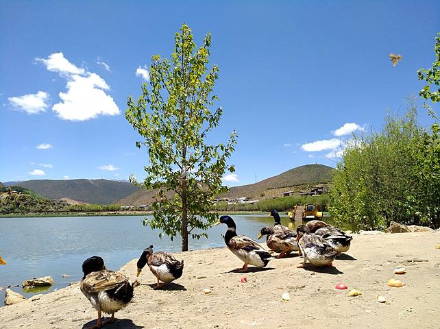 湖边一群小动物,喂养它们的是苹果.
