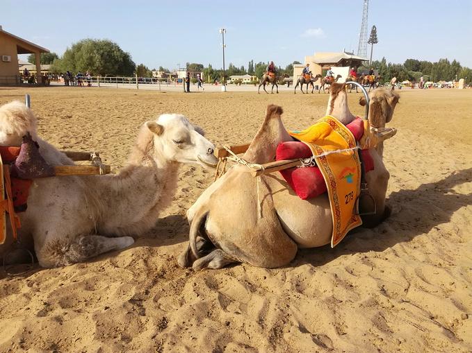 我骑的是这个白色的小骆驼,非常可爱,我要开始云养骆驼了.