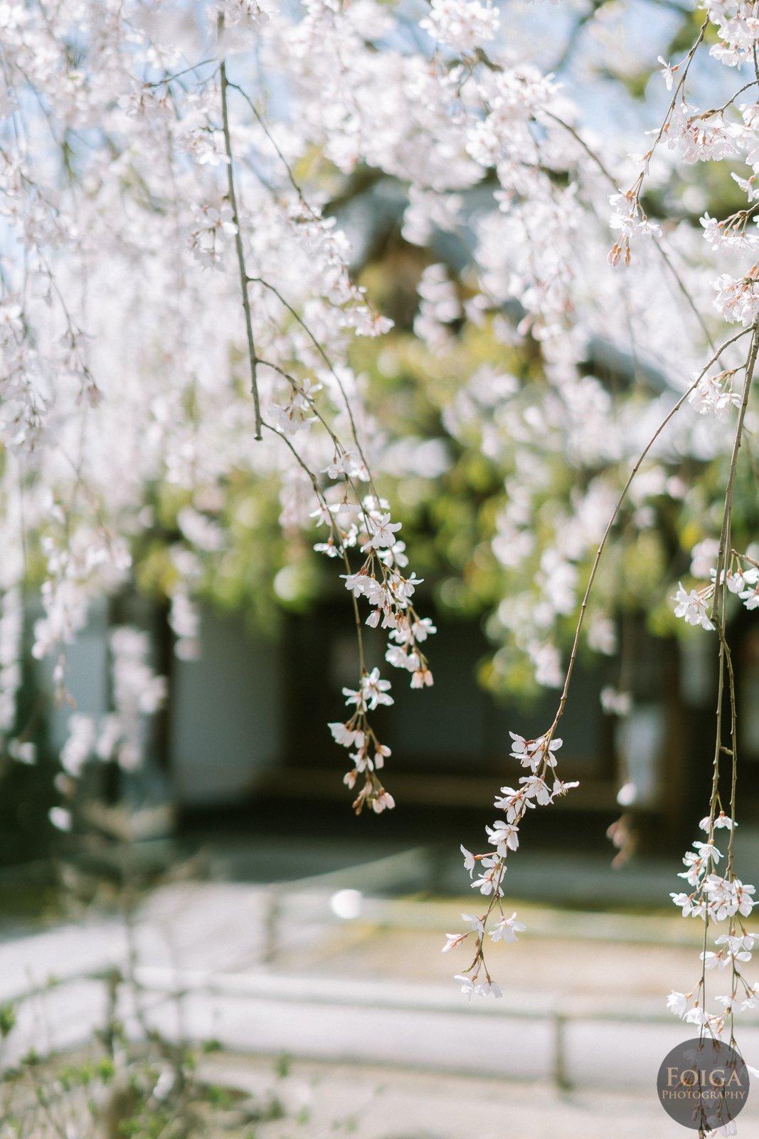 日本樱花季老司机带你玩转京都私房景点