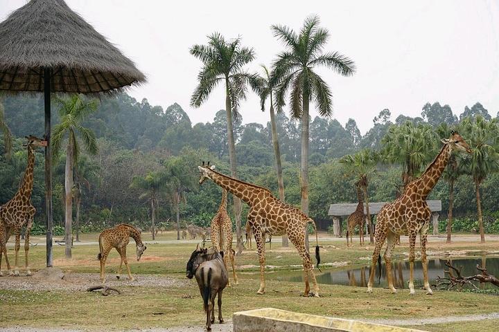 州长隆动物园是全世界动物种类最多,最大的5a级野生动物园主题公园