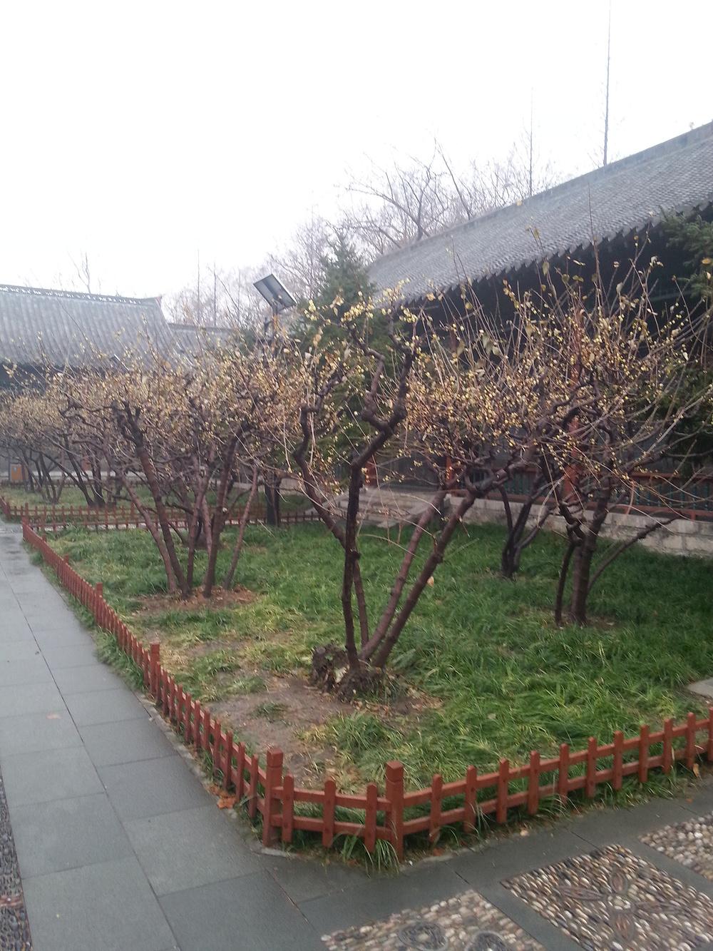 冬游济南,恋一树清香攻略-济南旅游游记-攻略-武汉到腊梅三亚图片