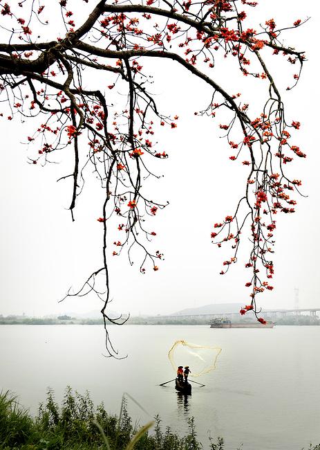 最美木棉树
