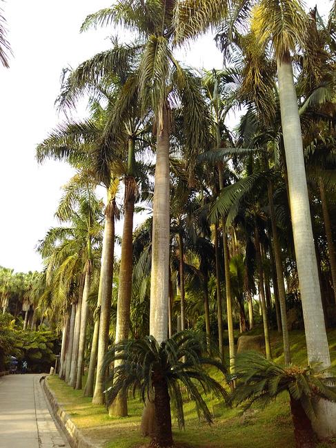 行道树是假槟榔,壮硕挺拔