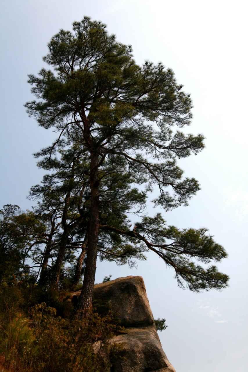 盆景 盆栽 树 松 松树 植物 854_1280 竖版 竖屏
