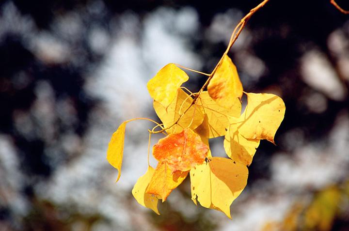 今年乌桕树的叶子提前红了,因为缺少水分,天太干了,所以我们