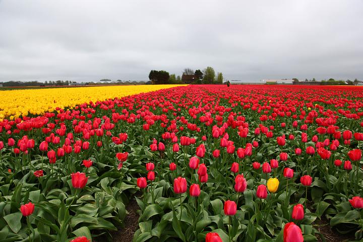香所覆盖,如果说郁金香花是荷兰春天不变的主题,那么库肯霍夫公园绝对