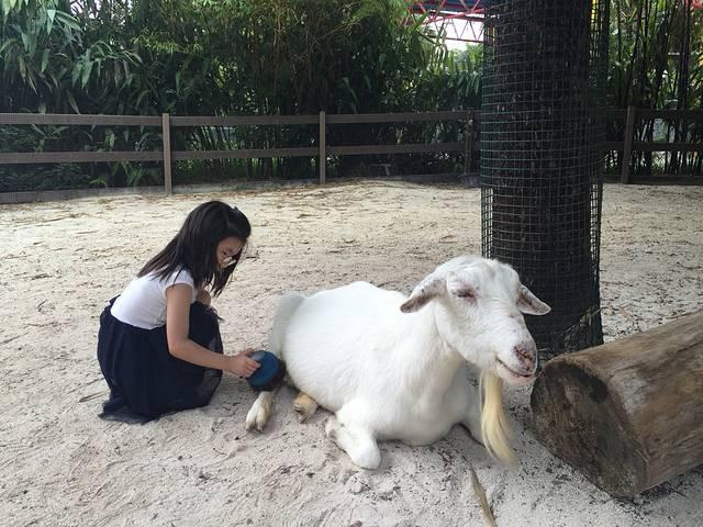 儿童动物园里,闺女在给白羊刷毛,非常可爱