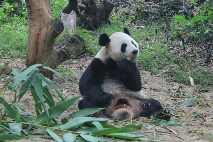 可爱的动物熊猫
