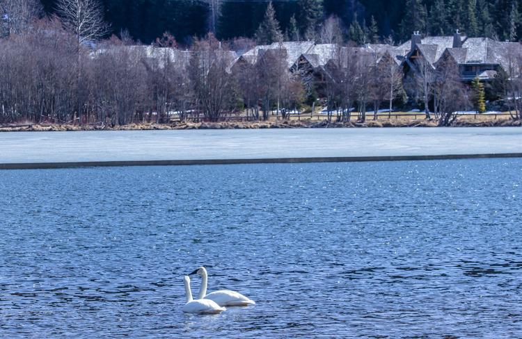 洁白的天鹅,在湛蓝的湖水中自由游动,与远处的村庄遥相呼应