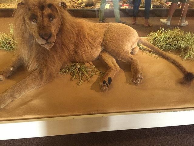 博物馆第一层是动物标本,这头狮子尾巴会动哦!