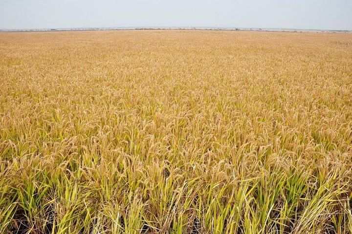 化之一,而盘锦大米也因品质优越 让不同颜色叶子的稻米在生长过程