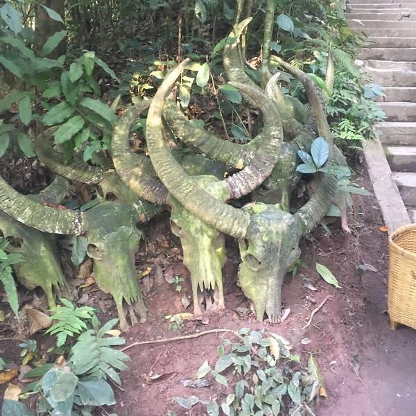 野生山茶树盆景