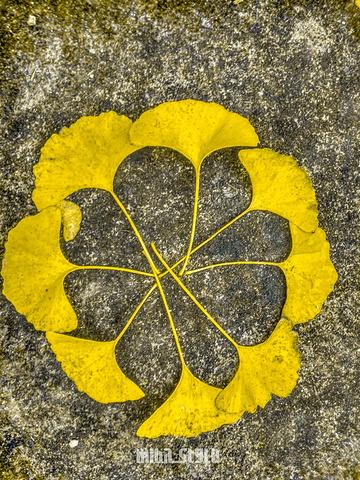 银杏树叶能拼出不同图案,装逼拍照 的首要道具哈