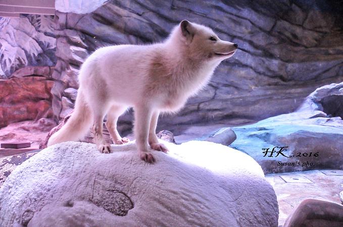 之前从来没见过雪狐,一种射雕里面九尾灵狐的即视感,好白好灵的白狐