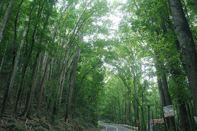 桃心木森林图片