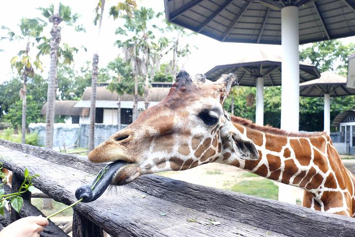 然后就是动物园的重头戏啦,坐车车看动物.长颈鹿的舌头真的是黑色的