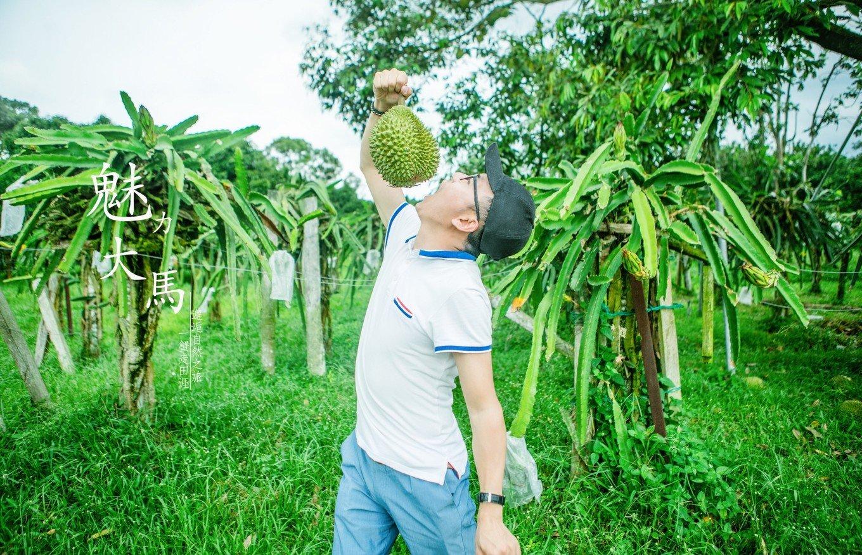 自驾马来西亚  怀念在水果农场捡榴莲吃的时光。