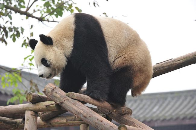 梅香去哪儿之攻略雪飘游乐山_峨眉v梅香攻略解救娃娃猴子图片