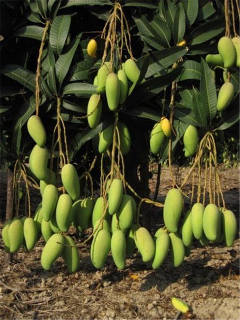 芒果是这样长在树上的