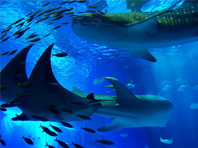 容量巨大的黑潮之海中游弋着全世界最大的鱼类:鲸鲨,还有全球第一条