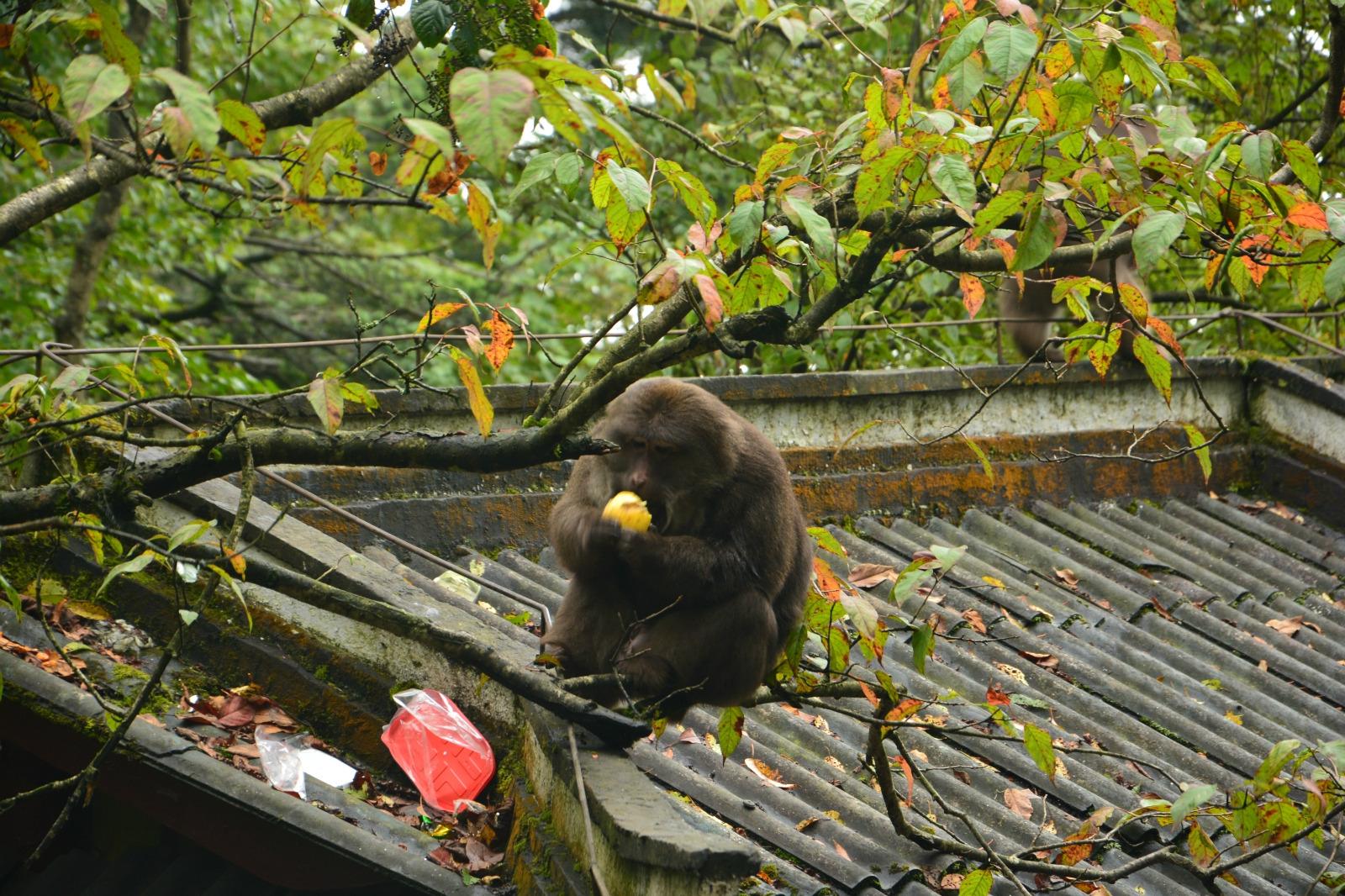 峨眉山二日灵猴攻略金顶游_京都旅游攻略_自日本乐山大阪旅游灵猫图片