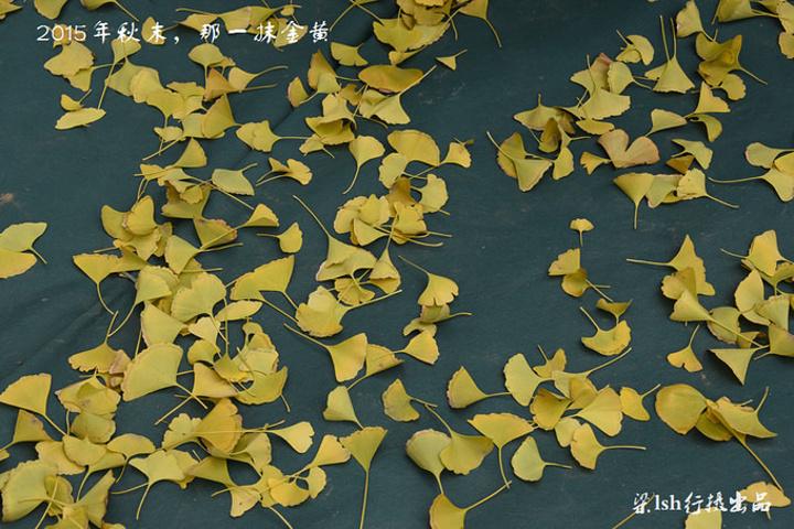 这里,银杏叶散落其间,似乎是构成了一幅美的画卷.图片