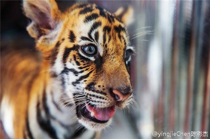 可爱的小老虎,感兴趣的亲可以跟它合影留念.