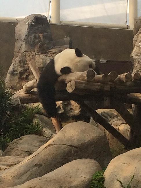 这是上午时候去的熊猫,累瘫的床上哈哈哈