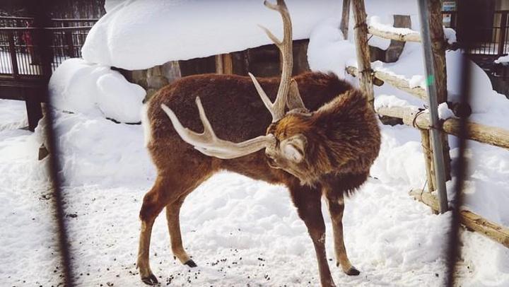 原来我用那么土的标题,但旭川这个小城市和旭山动物园绝对是意外的惊喜。 搬段百科的介绍:过去说起日本最有名的动物园,人们自然会提到东京都上野动物园。而如今,说到人气最旺,当属位于日本北海道旭川市郊外的旭山动物园。这个日本最北端的动物园,2004的入园参观者总数高达1449474人,七,八月间进场人数更超过了东京都上野动物园。而2005年4月29日开园以来,截至9月中旬,入园者数就已达1317815人,跃升为全日本参观人数最多的动物园。旭山动物园能够聚集超高人气,实现经济效益的高度增长,其秘诀就在于其独特的行