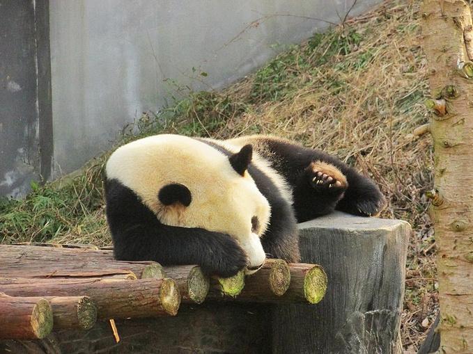 壁纸 大熊猫 动物 679_509